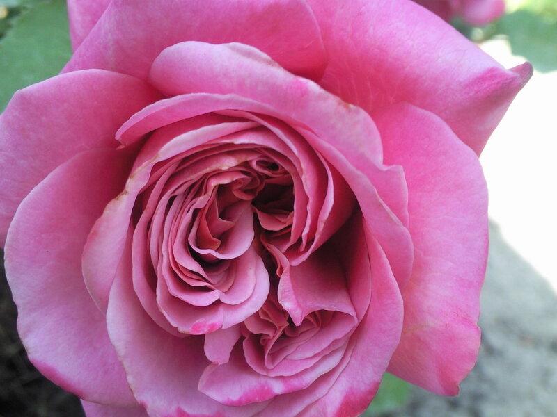 Как прекрасны розы.