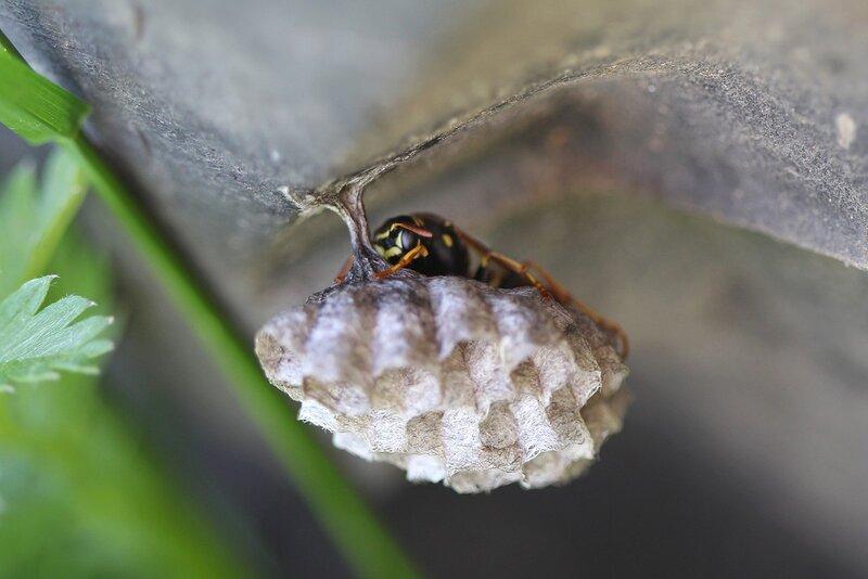 Осиное гнездо и отдыхающая на его стебельке оса