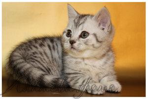 черная черепаховая пятнистая серебристая британская короткошерстная кошка