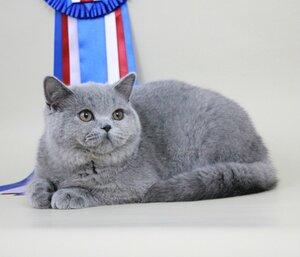 Best Kitten - 65 GAME SPIRIT Sideris*PL (Male) BRI a Бушуева Е. С. планируем вступить в Камею, Иркутск