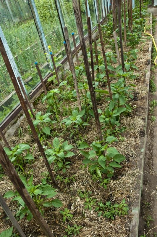 Баклажаны во саду ли в огороде видео