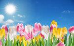 Tulips (2).jpg