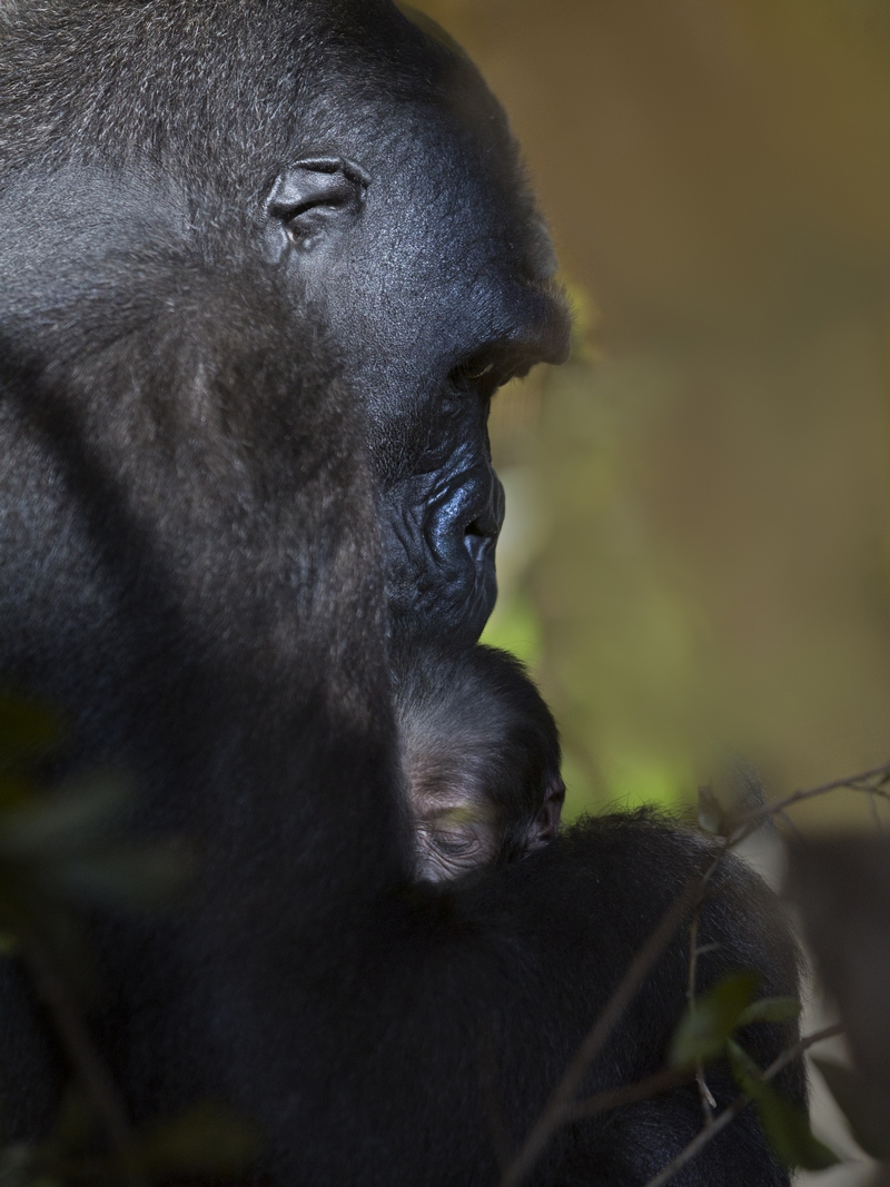 The Joy Of A Mother Gorilla With Her Baby
