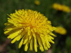 s:травянистые,c:желтые,s:розеточные,l:розеточные,соцветия - корзинки,околоцветник актиноморфный,околоцветник зигоморфный,околоцветник сростнолепестный,лепестков 7 и более,i:лекарственные,i:съедобные