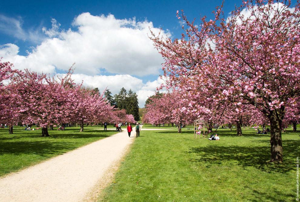 Миллионы, миллиарды цветов розовой пеной висят на деревьях вишни мелкопильчатой. Вот он, ханами
