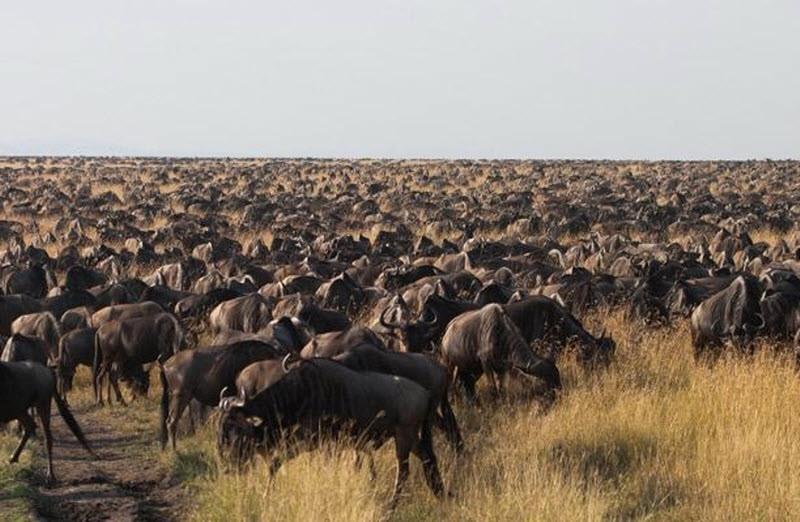 Великая миграция антилоп гну