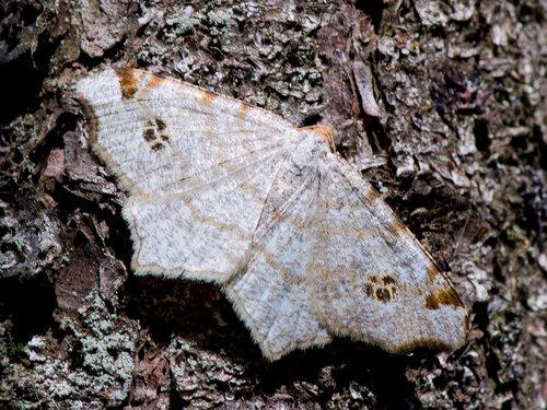 Пяденица углокрылая жёлто-бурая (Macaria notata) Автор: Владимир Брюхов