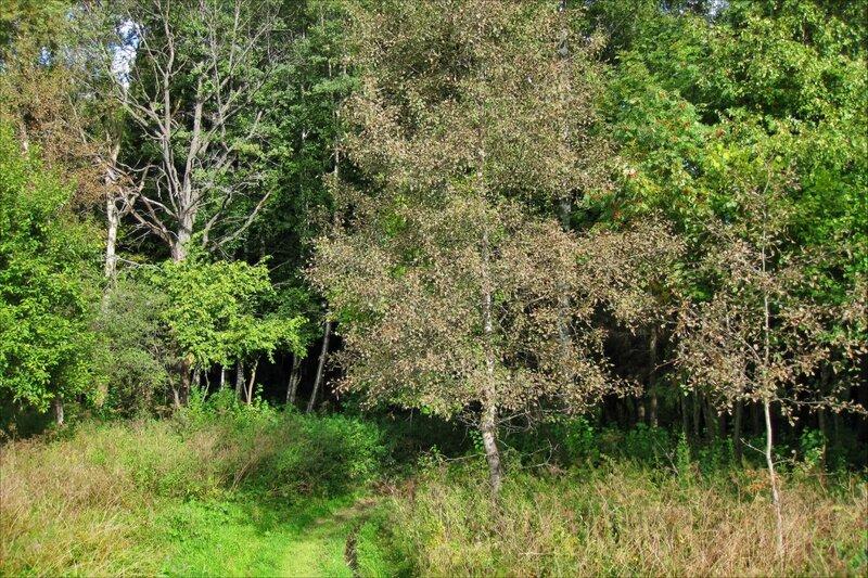 Побуревшие листья осины