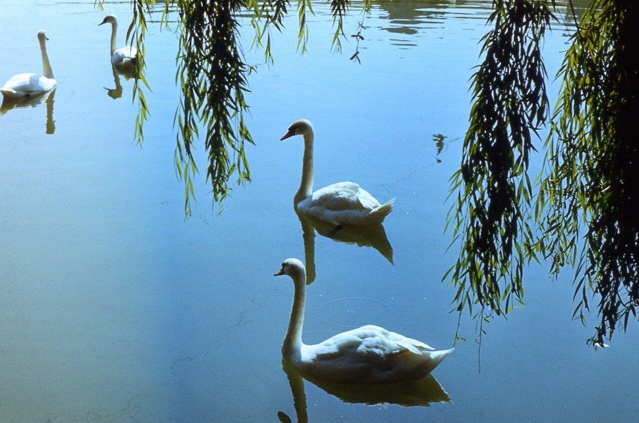 71. ...бесчисленные  белоснежные лебеди