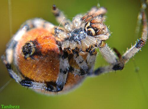 Крестовик Квадратный, (Четырёхпятнистый, или Луговой), самка (Araneus quadratus)