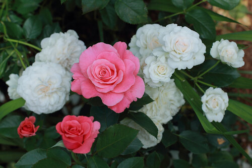 очень роза консул фото розебук прошу