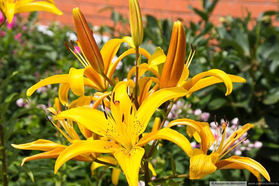 Цветы жёлтой лилии