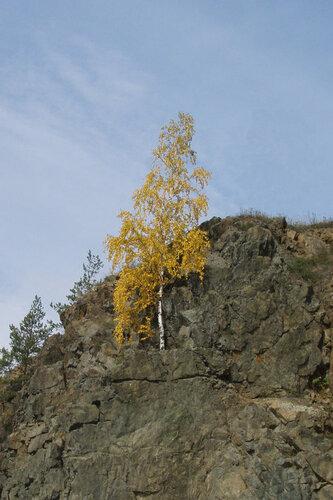Берёза на скале над плотинкой на реке Туре