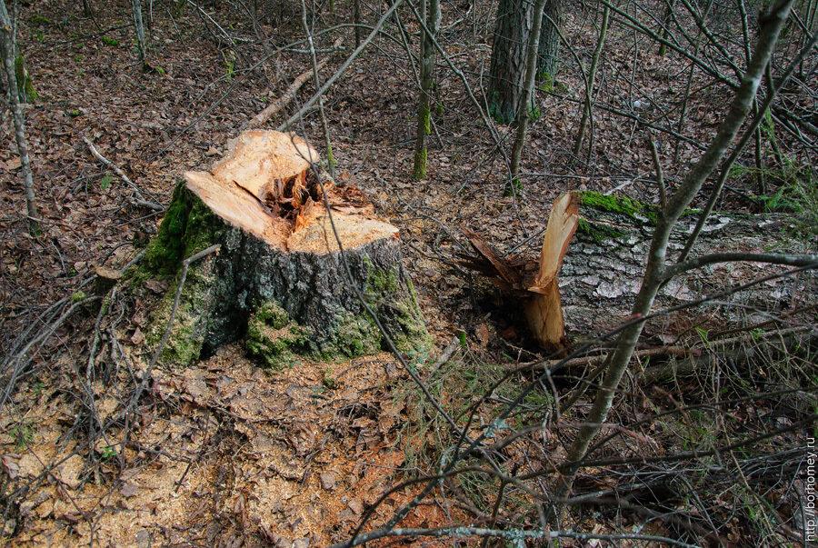 спилить березу в лесу