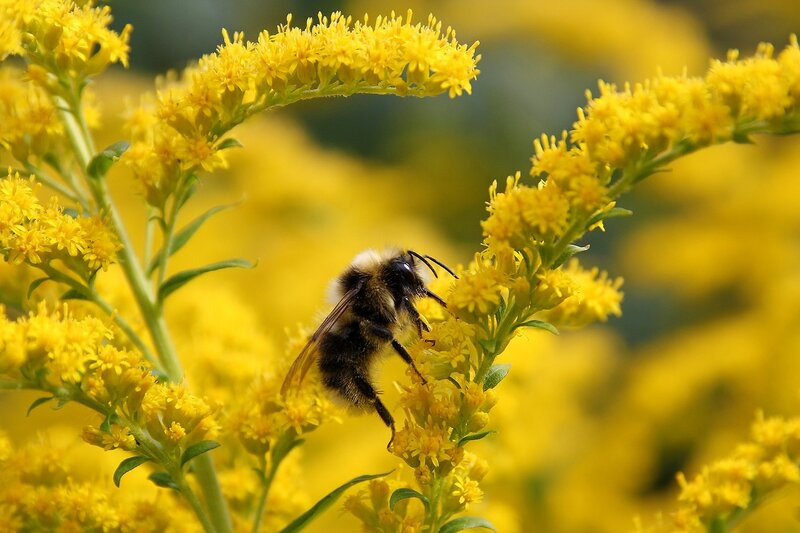 Шмель хоботком собирает нектар на жёлтых цветках 7089