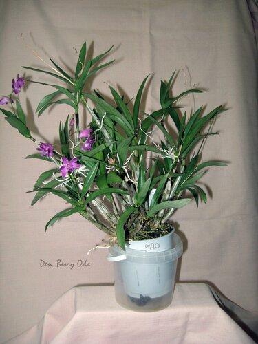 Орхидея Dendrobium Berry Oda