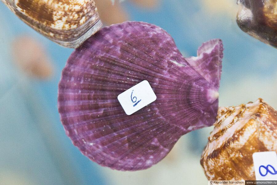 Фиолетовая раковина моллюска в музее ракушек Корфу