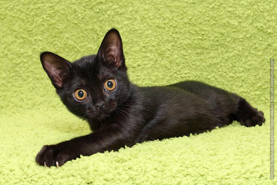 Бомбейская кошка питомник