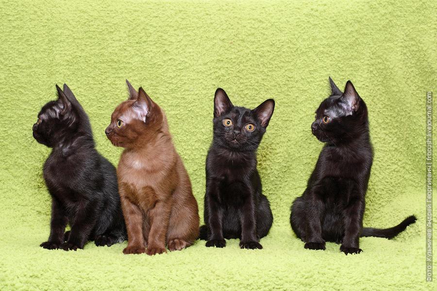 Бомбейские котята фото