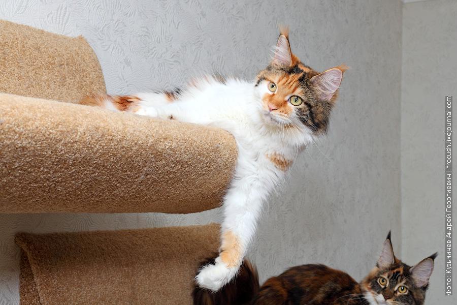 Москва питомник кошка Мейн-кун