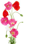 Poppies (2).jpg