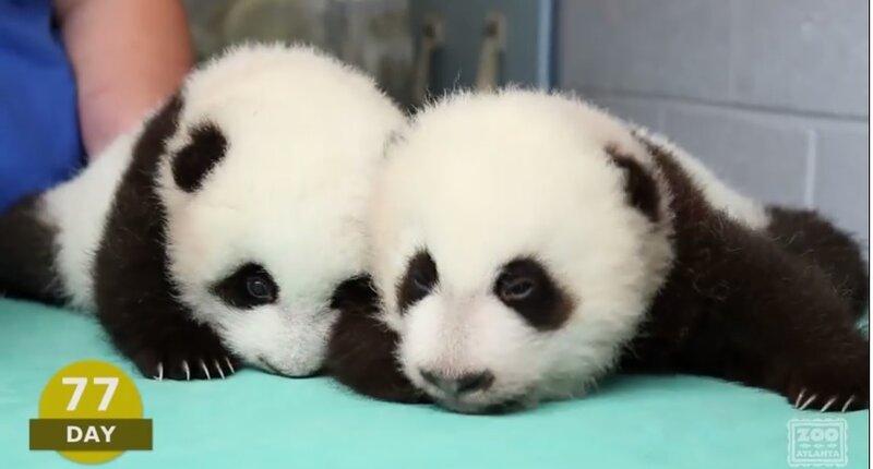 Медвежата панды - 100 дней из жизни больших панд