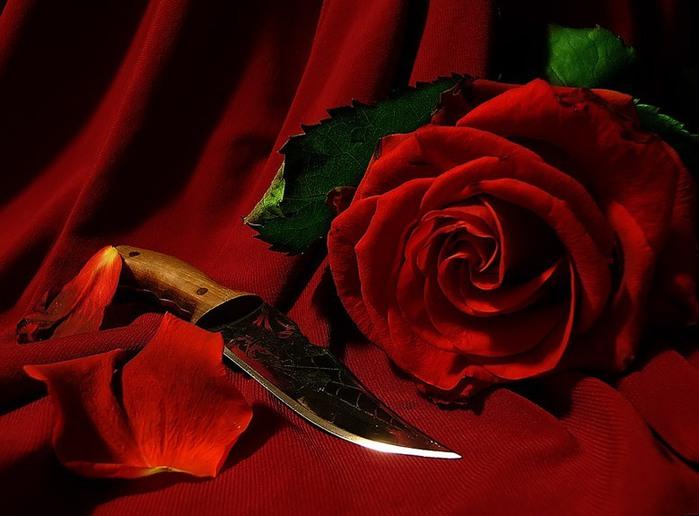 Красная роза. Ей только-что подрезали стебель