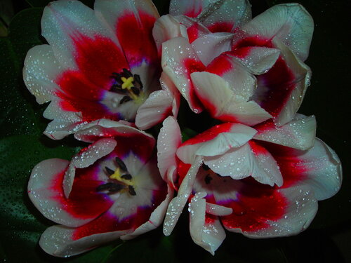 Алое сердце тюльпана