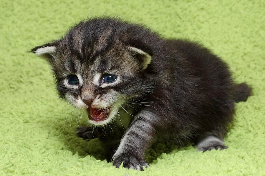 Москва котенок Мейн кун питомник