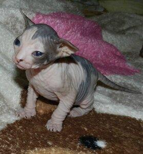 Сфинксы - продажа котят 0_a62bc_d2b1aa25_M