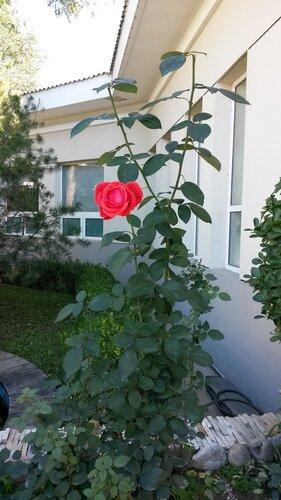 Роза возле корпуса больницы