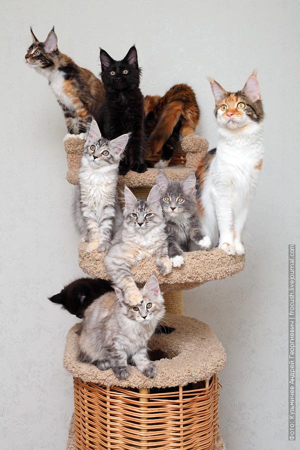 продаем котят мейн-кун