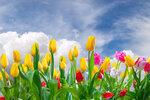 Tulips (9).jpg