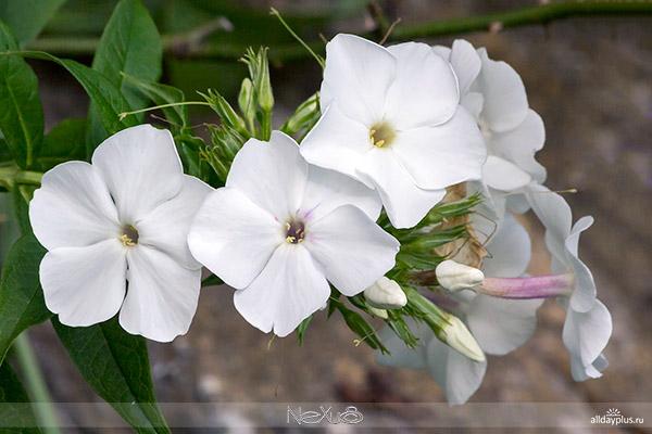 Я люблю все цветы, часть 70 | Флокс - пламенный цветок.
