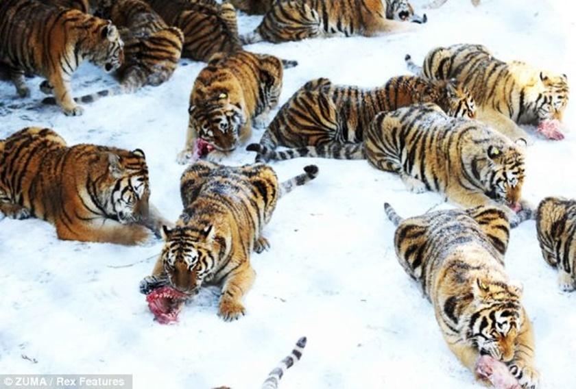 Стая амурских тигров расслабляется после сытного обеда 0 141aee 6885920f orig