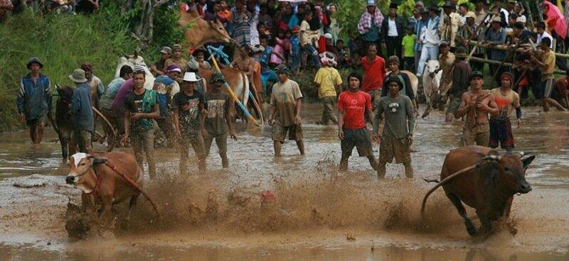 Индийские гонки на тысячах быков в Керале