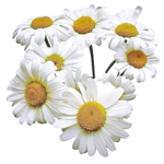 camomile (10).png
