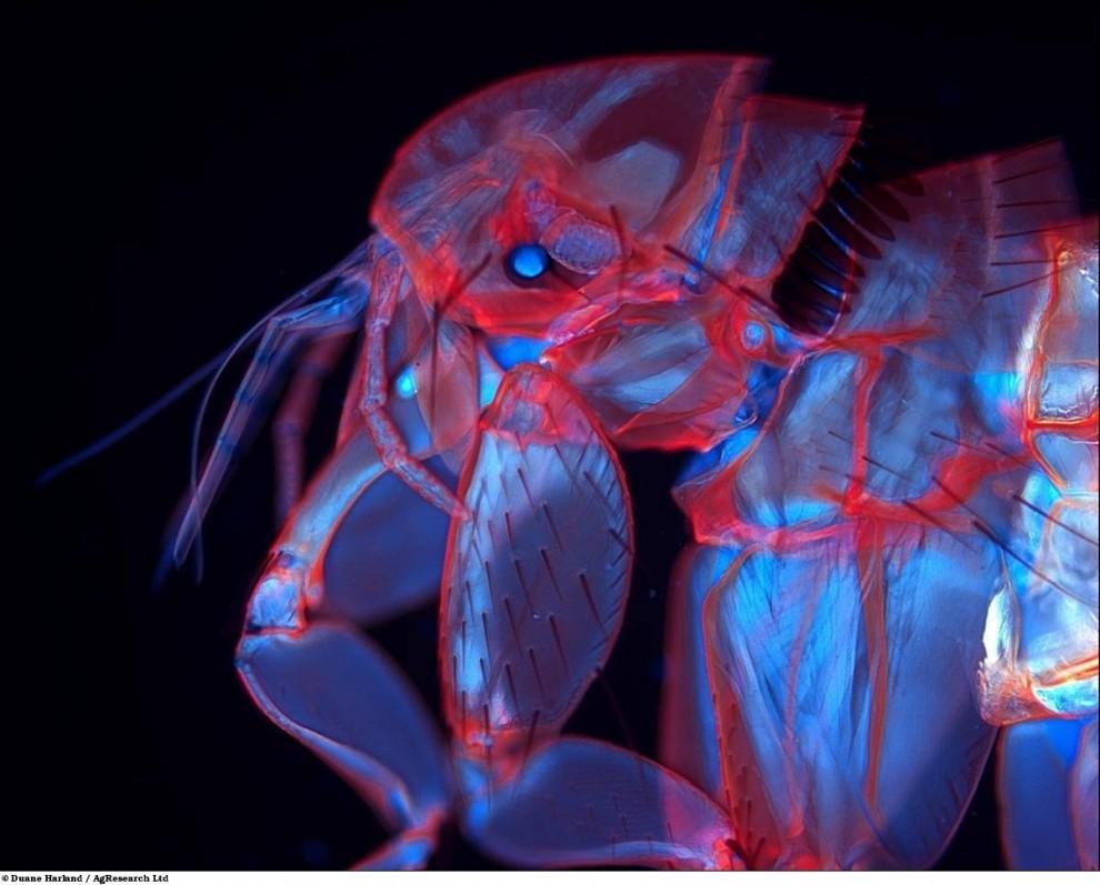 8. Флуоресцентная блоха