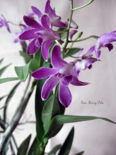Dendrobium Berry Oda - букет цветов орхидеи