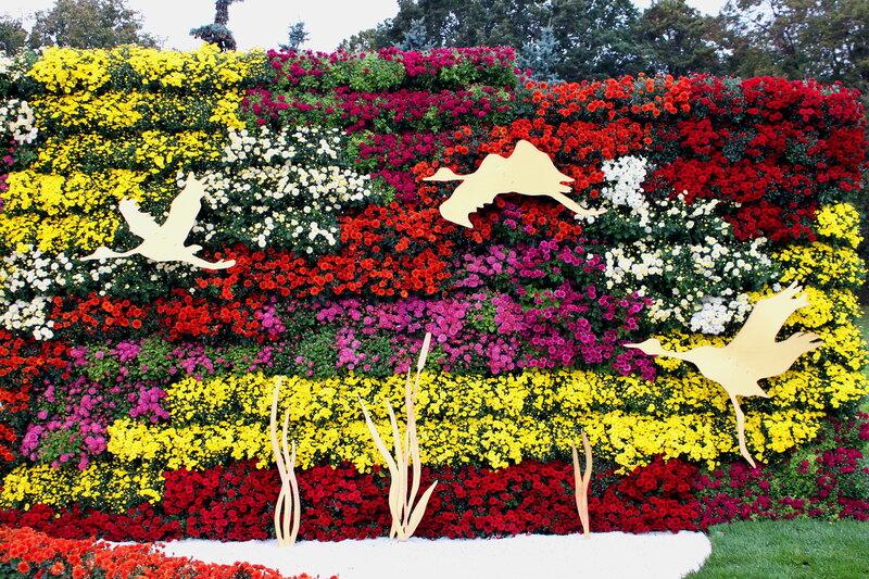Выставка хризантем 2013 на Певческом поле