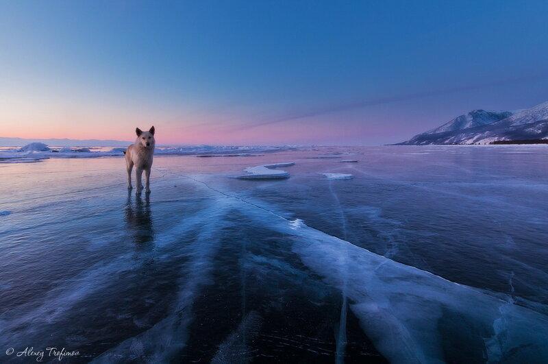 Baikal_2013_Dog-on-Ice.jpg