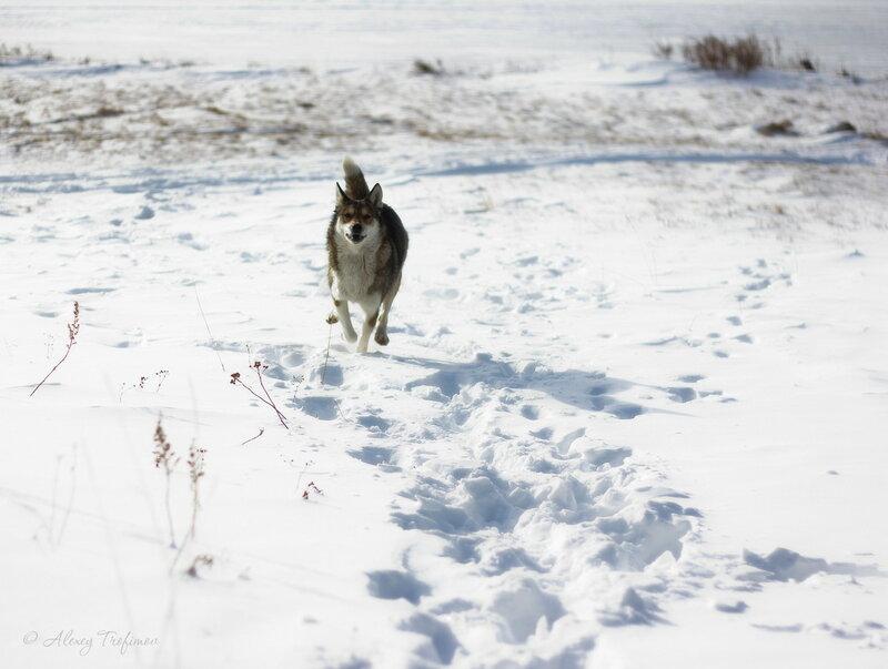 Baikal_2016_03_Run-Dog.jpg