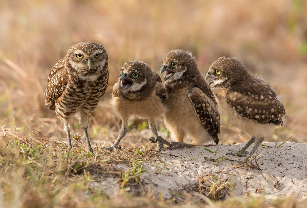 17. Косоглазие у крабов. (Фото Arkaprava Ghosh | Comedy Wildlife Photography Awards):