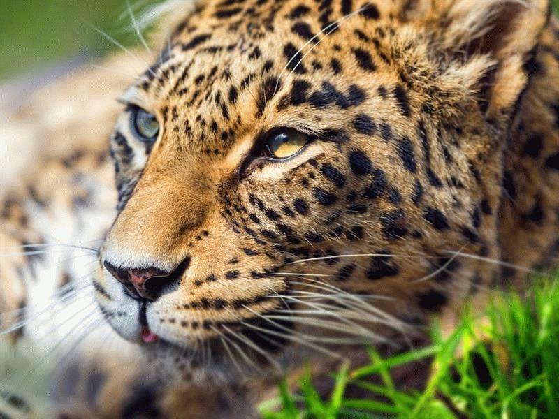 Переднеазиатский подвид леопарда обитал на территории от Северного Кавказа до Красного моря и от Бос