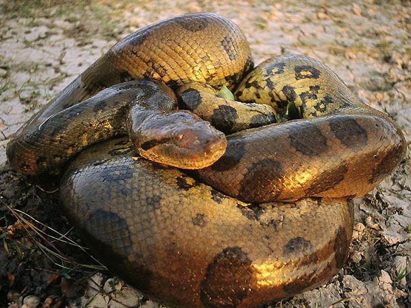 10. Анаконда   В принципе, эти огромные (до 16 метров) водяные змеи питаются обезьянами. Но у н