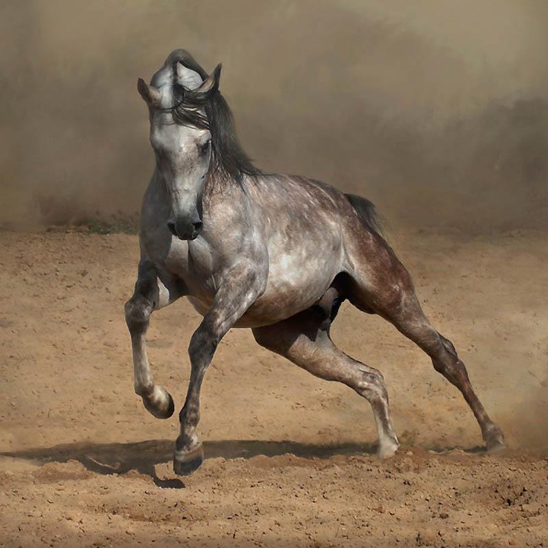 29. Арабские лошади очень подвижны и часто появляются в таких мероприятиях, как скачки, дисциплины п