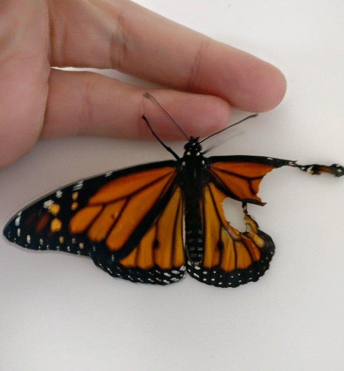 Американский модельер провела операцию по трансплантации крыла живой бабочке (6 фото)