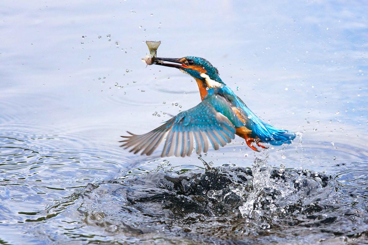 The Hunting Kingfisher