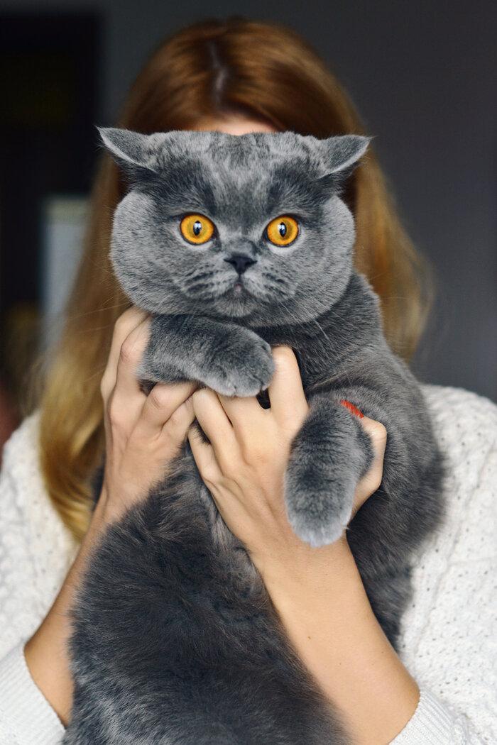 Британец кот на руках