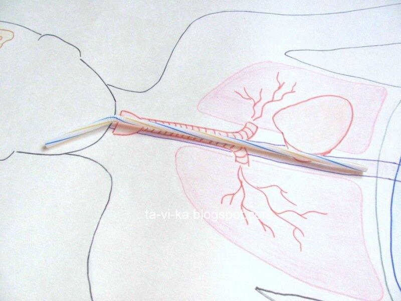 пособие по анатомии из подручных материалов